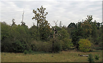 TQ5781 : Ash Plantation by Roger Jones