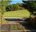 SO5115 : Grazing sheep, Buckholt by Jaggery