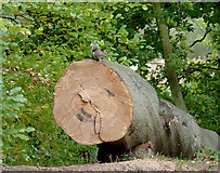 SK0220 : Felled tree and squirrel with nut by Roger  Kidd