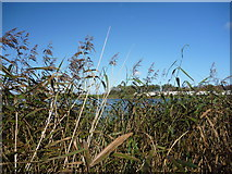 NT6578 : Rural East Lothian : Amongst The Reeds At Seafield Pond by Richard West