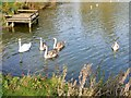 SU1187 : Swans on the lake at Mouldon Hill Country Park, Swindon by Brian Robert Marshall