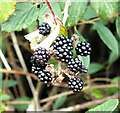 SU0727 : Blackberries by Jonathan Kington