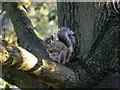 SJ9593 : Squirrel at Hyde Chapel (3) by David Dixon