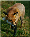 TQ3643 : Young fox by Peter Trimming
