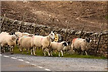 SD7880 : Sheep passing a milestone by Steve Daniels