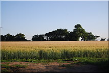 TG2103 : Barley ripening in the sun by N Chadwick