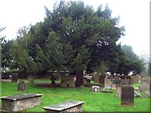 SK4665 : Yew Tree in the Cemetery of Ault Hucknall Church by Jonathan Clitheroe