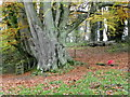 ST9330 : Beech tree, Fonthill Estate by Maigheach-gheal