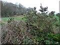 SE9891 : Flowering gorse near Swang Plantation by Christine Johnstone