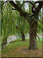 TL4457 : Willow trees by the River Cam in Cambridge by Roger  Kidd