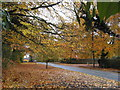 SJ9077 : Autumn leaves on Butley Lanes by Peter Turner