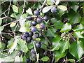 SU0425 : Ivy berries, Broad Chalke by Maigheach-gheal