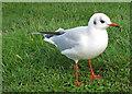 TA1281 : Black-headed gull, winter plumage by Pauline E