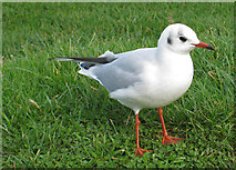 TA1281 : Black-headed gull, winter plumage by Pauline E