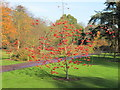 TQ1876 : Sorbus X Kewensis in Kew Gardens by David Hawgood