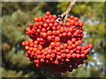 TQ1876 : Berries of Sorbus x kewensis, Chinese rowan, Kew Gardens by David Hawgood