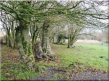 SU8216 : Veteran trees near Monkton Farm by Stefan Czapski
