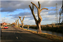 SK5435 : Newly pollarded willows on Canal Side by David Lally