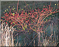 TL9304 : Rose Hips in December by Roger Jones