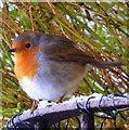 NH9184 : Robin in my garden by sylvia duckworth
