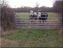 TQ2197 : Bulls on field by Saffron Green by David Howard