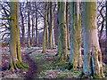 NT1198 : Path in beech plantation by William Starkey