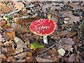 SO7779 : Fly Agaric (Amanita muscaria) by Eymore Wood, near Trimpley by P L Chadwick