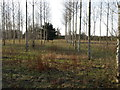 TL0574 : A stand of Poplar trees by Michael Trolove