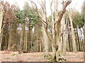 SP8304 : Trees on Pulpit Hill by Peter S