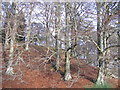 NH5043 : Beech trees on Castlehill by Craig Wallace