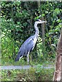 SJ3135 : Heron on the prowl by Linnet