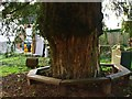 TQ3919 : Yew tree surrounded by bench, Chailey by nick macneill