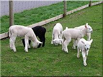 NO0936 : Lambs at  Stewart Tower by Maigheach-gheal