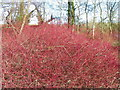 SU0336 : Dogwood (Cornus sanguinea), Langford Lakes by Maigheach-gheal