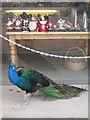 SE7169 : Window-shopping peacock by Pauline E