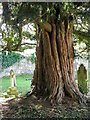 ST9929 : Yew tree, St George's Churchyard by Maigheach-gheal