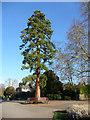 TQ3296 : Redwood Tree, Enfield Town Park by Christine Matthews