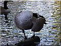 TQ2595 : Canada Goose by Christine Westerback