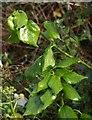 SX9064 : Ivy leaves, Crownhill Park by Derek Harper