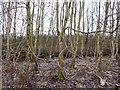 NT1690 : Roadside woodland by Richard Webb