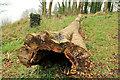 J4682 : Dead tree, Helen's Bay by Albert Bridge