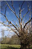 TL8063 : Old oak in Ickworth Park by Bob Jones