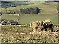 NT4536 : Calf, Meigle Hill by Richard Webb