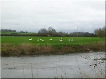 ST9102 : Spetisbury, swans by Mike Faherty