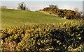 J4568 : Whin hedge near Comber by Albert Bridge