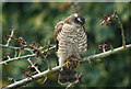 TQ3266 : Female Sparrowhawk by Peter Trimming