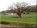ST4590 : Dominant oak in a field near Westwood Farm west of Caerwent by Jaggery