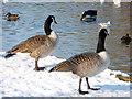 TQ3096 : Canada Geese, Boxer's Lake, Enfield by Christine Matthews