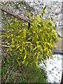 SU0719 : Mistletoe, All Saints Church by Maigheach-gheal
