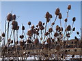 TQ0448 : Teasels Snowcapped by Colin Smith